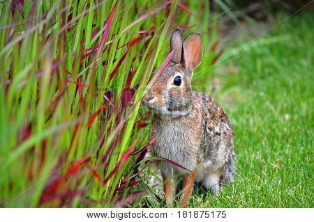 Adult rabbit investigating ornamental grasses in the garden