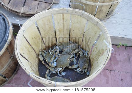 Maryland Blue Crab (Callinectes sapidus Rathbun) being sorted for size