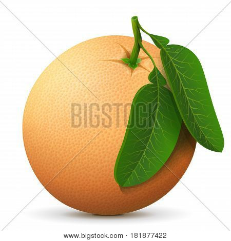 Single whole grapefruit fruit close up. Raw grapefruit with leaves isolated on white background. Qualitative vector illustration about fruits agriculture cooking food gastronomy etc