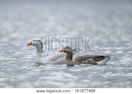 White Greylag Goose And Greylag Goose Swimming On A Loch, Close Up