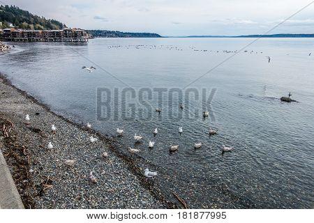 A group of birds swims near shore in West Seattle Washington.