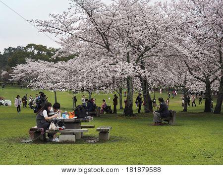 Nara park, Nara, Japan - April 8, 2017 : Japanese enjoying Cherry blossoms festival in park. Hanami is Japanese tradition of welcoming spring.
