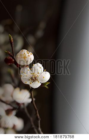 Blossoming tree brunch with spring white flowers on blurred background. Selective focus flower.