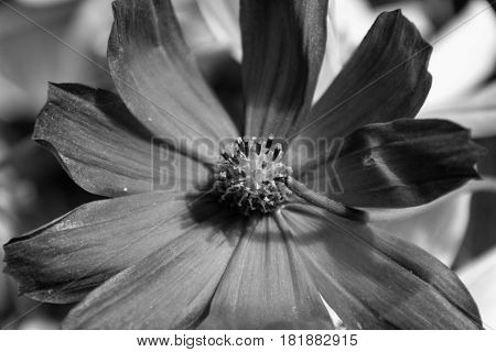 Black And White Cosmos Flower.