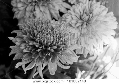 Black And White Aster Flowers