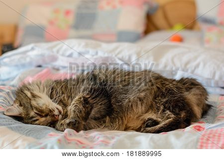 Gray cat with cuddly fur sleeping in a bed