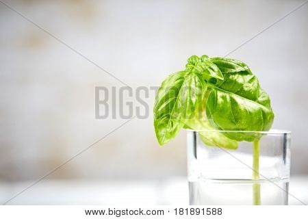 Basilicum In Glas In Front Of White Wall
