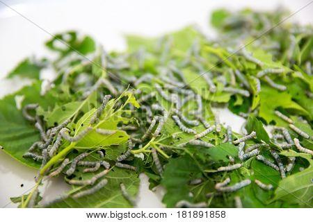 Silkworm larvae on mulberry leaves closeup