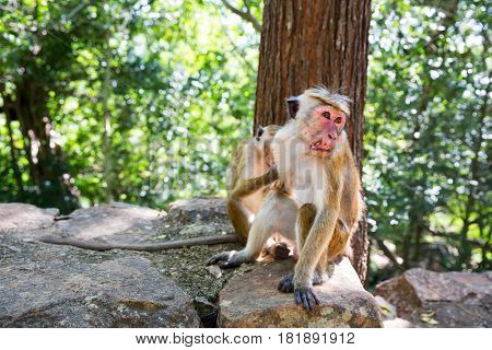 Monkeys sitting on stone, fruit thieves on Ceylon