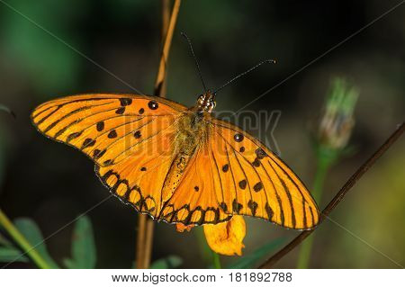 Orange Butterfly sucking nectar in a flower