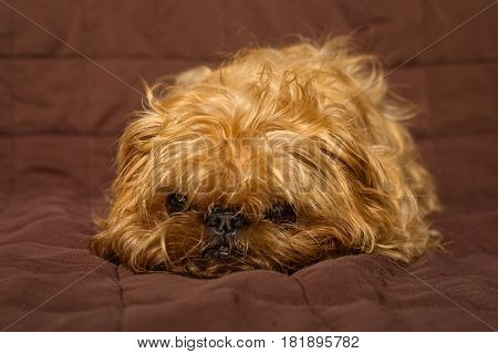 Dog breed Brussels Griffon on a quilted blanket