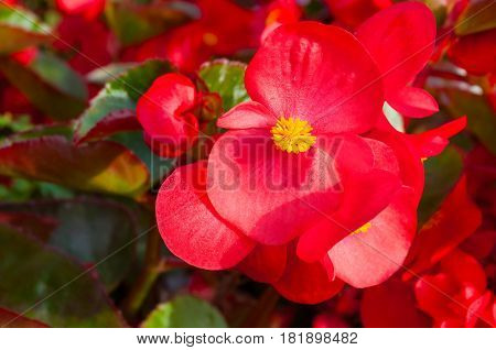 Spring flowers of red begonia. Natural spring flowers background. Spring flowers on the flowerbed under sunlight. Closeup of spring flowers of begonia