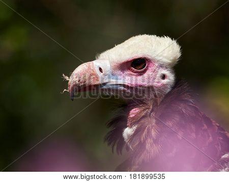 Portrait of Hooded Vulture (Necrosyrtes monachus)