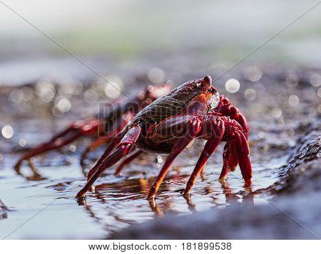 closeup of red Sally Lightfoot Crab feeding on black lava rock