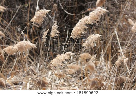 Blowing in the wind,  Phragmites australis  found along a roadside ditch in S.E. Ontario. This common reed is important (together with other reed-like plants) for wildlife and conservation, but is causing serious problems for many other North American wet