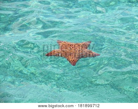 Starfish floating in the Caribbean Sea off the coast of the Bahamas