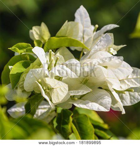 White Bougainvillea lush flowers nature background .