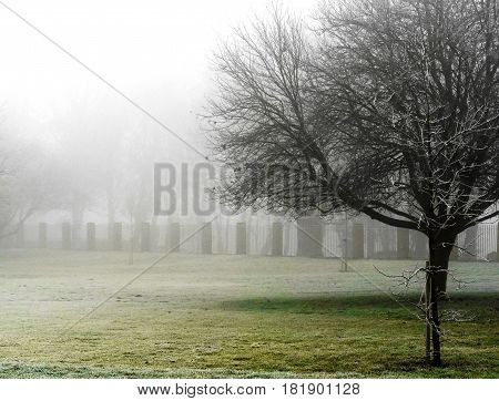 A solitary tree on a foggy winter morning in a cemetery.