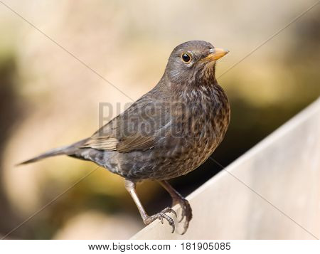 Portrait of song thrush - Turdus philomelos