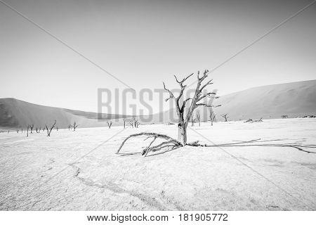 Dead Tree In Sossusvlei In Black And White.