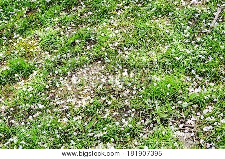 April 16 2017-Cherry blossom petals on the grass Stanley Park at Vancouver,BC Canada