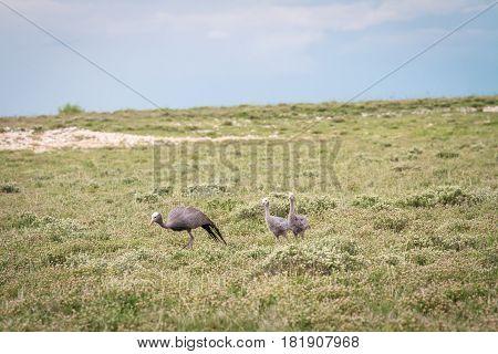 Family Of Blue Cranes.