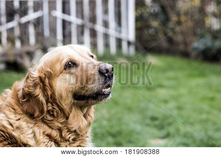 old golden retriever dog on green grass background