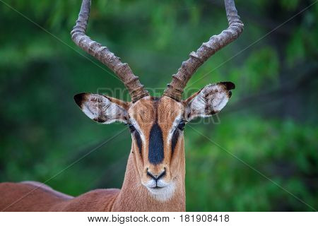 Male Black-faced Impala Starring At The Camera.