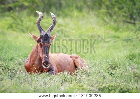 Red Hartebeest Laying In The Grass.