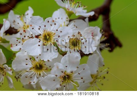 A Branch Of Cherry Blossoms. Spring Young Flowers. Sunlight Through
