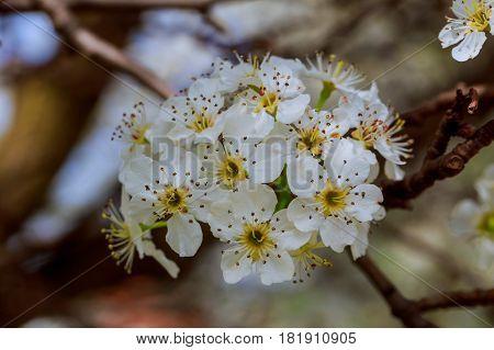 Cherry Blossom, Japanese Spring Scenics Spring Flowers