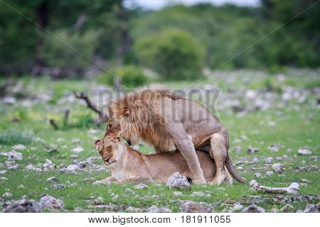 Mating Pair Of Lions.