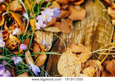 Many crocuses in dry autumn leaves. A field of crocuses in yellow leaves on the ground in the urban park of Cetinje, Montenegro.