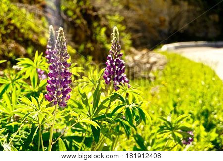 Purple lupines by side of road on hazy summer day