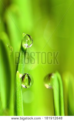 Extreme Macro of Growing Wet Wheat Grass with Raindrops on Stems.