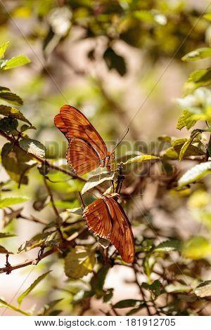 Julia Longwing Butterfly, dryas Iulia