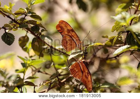 Julia Longwing Butterfly, ‎dryas Iulia
