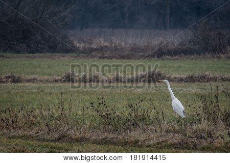 Airone Bianco nella campagna Lombarda (Morimondo - MI)