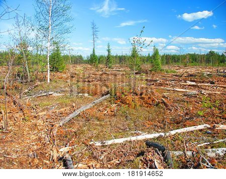 Large area of northern Michigan where Jack Pines (Pinus banksiana) have been logged