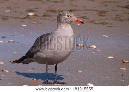 A juvenile Heermann's Gull on a beach on the Sea of Cortez