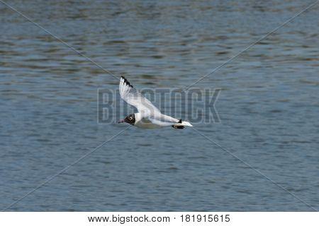 Gabbiano adulto in abito nuziale in volo sopra le saline di Comacchio