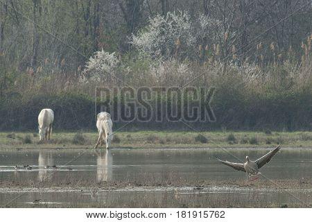 Cavalli Camargue liberi nella Riserva Naturale della Cona