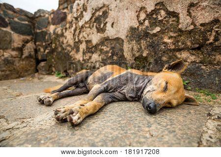 Sleeping dog against grunge wall, Ceylon landscape