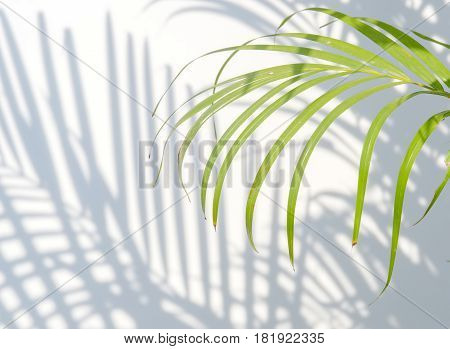 palm leaves and shadows on a white wall background