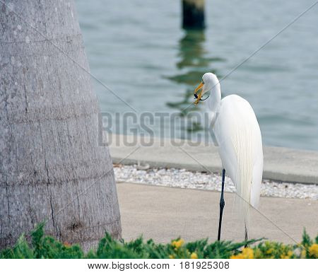 white egret feeding on a gecko by palm tree and water