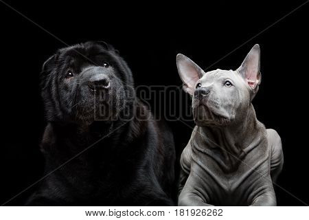 Beautiful old black purebred shar pei dog and cute blue thai ridgeback puppy lying over black background. Copy space.
