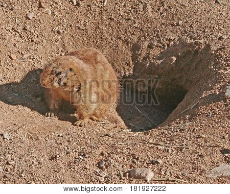 Brown prairie dog sitting at the edge of its burrow
