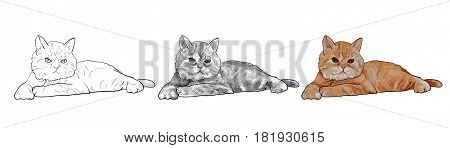 Adorable Lying Persian Cat Isolated On White Background