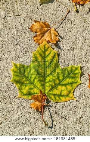 Large yellow and green maple leaf with small brown maple leaves