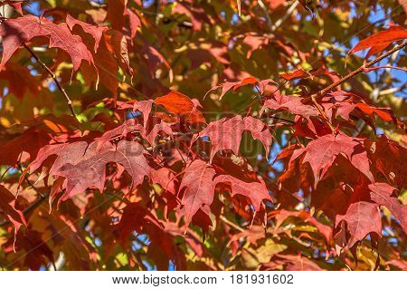 Maple tree in autumn sunlight with beautiful red leaves against shades of green and yelow